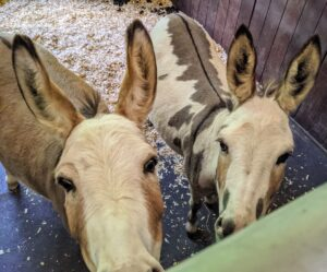 Jude Junior and Truman Junior are affectionately named after my grandchildren. They joined my stable in May 2019 and they're doing great - very healthy and very friendly. All my donkeys are thriving at the farm.