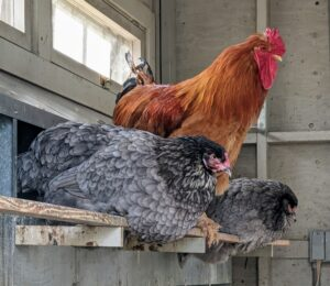 Chickens love to roost. These chickens are on the bar in front of the nesting boxes. Roosters typically watch over their hens through the day.