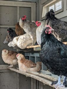 I've raised many different chicken breeds and varieties over the years – they are all so beautiful to observe. I am fascinated by their many colors and feather patterns. Here is a group of hens in the coop. When laying, hens appreciate privacy – my coops are open all day, so the hens could go inside to their nesting boxes.