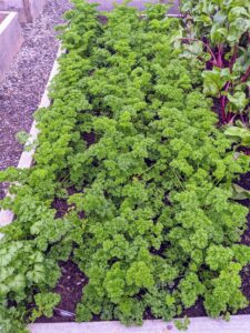 Parsley 'Moss Curled' is a bushy biennial forming a dense rosette of rich green, deeply-cut, tightly-curled, aromatic leaves.
