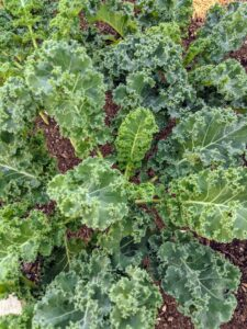 Kale is related to cruciferous vegetables like cabbage, broccoli, cauliflower, collard greens, and Brussels sprouts. There are many different types of kale – the leaves can be green or purple in color, and have either smooth or curly shapes.