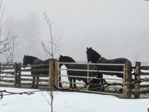 My dear Friesians are all facing away from the slight wind and light rain.