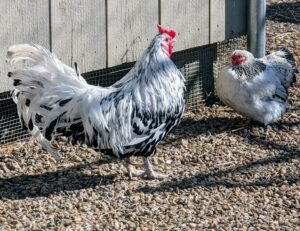 At my farm, I have a mélange of types and breeds that are really interesting to look at and fascinating to study. And I've always had enough egg-laying hens to provide me and my family with fresh, nutritious, organic eggs all through the year.
