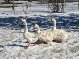 On the other side of the yard, one Chinese goose followed by two Sebastopols - these geese always travel together.