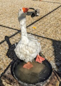 And here's a silly Sebastopol goose wading in the water bowl. The water is pretty cold, but this goose doesn't seem to mind at all. The Sebastopol goose is also referred to as a Danubian goose. The name 'Danubian' was first used for the breed in 1863 Ireland. Sebastopols are considered medium-sized birds. They are also very affectionate and kind-hearted with others in their group, or gaggle.