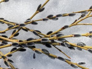 This unique variety of pussy willow has attractive blonde bark, thin grassy stems, and lots of small dark purple catkins.