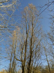 And these tall pussy willows are called Salix matsudana 'Tortuosa', or Corkscrew Willow. Having no fuzzy catkins, the main ornamental feature of matsudana is the twisted branches.