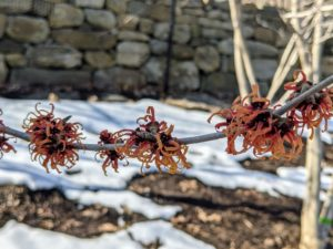 Witch-hazel flowers consist of four, strap-like petals that are able to curl inward to protect the inner structures from freezing during the winter. Most are familiar with witch-hazel as a medicinal plant. Its leaves, bark and twigs are used to make lotions and astringents for treating certain skin inflammations and other irritations.