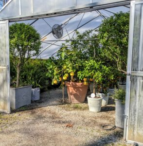 Temperatures on this day were warm enough to open the doors of the hoop houses so fresh air and light could circulate inside. This is my citrus house - filled with beautiful citrus trees including lemons, limes, calamondins, blood oranges, kumquats, and more.
