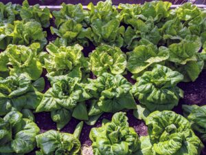 Look at these heads of lettuce. I always grow lots of varieties of lettuce. My grandchildren love salads.