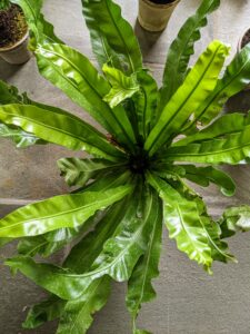 Here's another bird's nest fern with less crinkly fronds. These fronds grow in a tight, nest-like clump from the center of the plant. Under ideal circumstances, all ferns like to have consistently moist, but not wet, soil. However, they will tolerate soil that dries out from time to time.