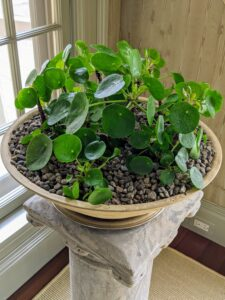 Chinese money plants, Pilea peperomioides, are so handsome, and they always attract lots of attention. The Pilea peperomioides has attractive coin-shaped foliage. This flowering perennial is native to southern China, growing naturally along the base of the Himalayan mountains. It is also known as coin plant, pancake plant, and UFO plant.