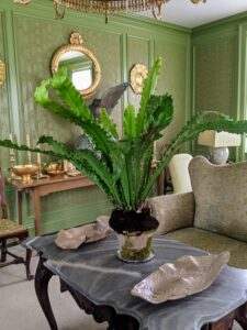 On the right of the foyer is my sunken green parlor. It looks so inviting decorated with container plants. Here is another bird's nest fern.