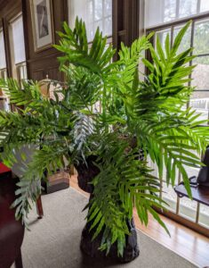This large blue fern is one of two in my Brown Room - an interesting looking fern with large fronds and a pleasant green-blue color. Its ability to tolerate lower-light conditions and relatively easy care make it a great choice for any fern lover.