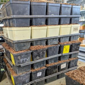 Working in a production line process and filling a lot of trays first is an efficient way to work - there are many seeds to transplant.