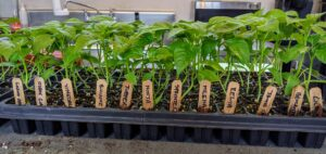 Next, Ryan takes care of a flat of peppers. All these seedlings look so healthy.