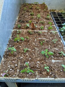 The stronger plants now have more room to grow before getting transplanted into larger pots or straight into the ground.