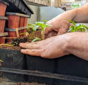He places the seedling in the hole and gently firms up the surrounding soil. Avoid handling the seedling by its tender stems, which can bruise easily.