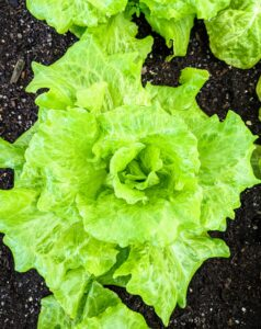 Lettuce is most often used for salads, although it is also seen in other kinds of dishes, such as soups, sandwiches and wraps; it can also be grilled.