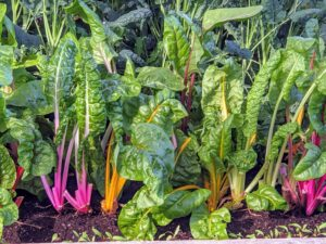 I grow lots of Swiss chard. Right now, I have pink, orange, and white. Chard has a mild, sweet earthy taste with some bitterness. When harvesting, cut off the outer leaves about two inches above the ground while they are young and tender.