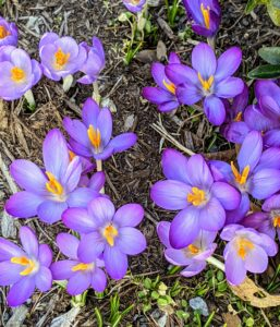 The crocus is lavender and white with yellow centers and purple edges.