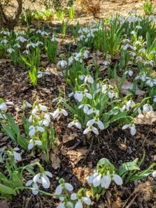 "Snowdrops continue to fill the gardens with their small, pendulous bell-shaped white flowers that hang off stalks like ""drops"" before opening."