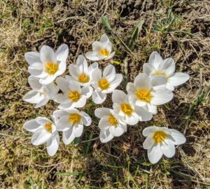 Here are some white crocuses across from the pergola. Crocuses only reach about two to six inches tall, but they naturalize easily, meaning they spread and come back year after year.