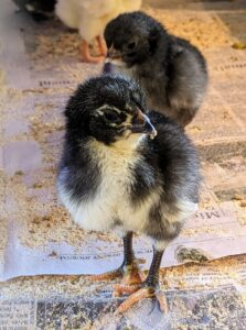 It is always nice to see such a strong and energetic group of babies. Chicks grow quickly, so it won't be long before they move to the coops - usually after about four or five weeks.