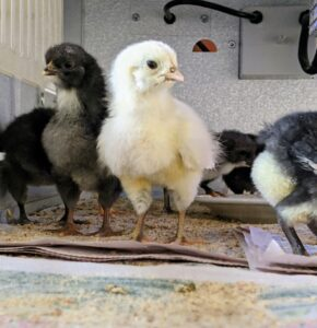 All these chicks have clear eyes and are very alert – signs of good health.