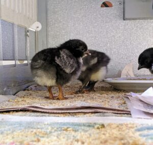 I am so happy with this group of peeps – they are all strong good eaters, and will be a great addition to my flock.