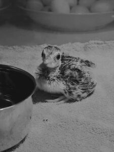 Meanwhile, back in my Winter House kitchen – a peachick, or baby peafowl. This youngster hatched just a few hours before this photo was taken. It will soon join the chicks in the brooder. I am looking forward to watching them all thrive here at Cantitoe Corners.
