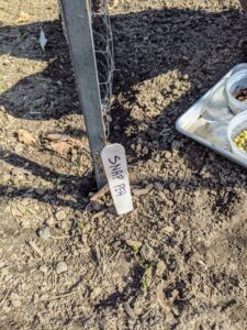 And then places the appropriate markers along the row to identify snap and shelling peas along with their varieties.