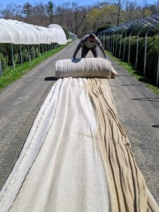Domi carefully rolls the fabric for storage. The boxwood has grown so much over the years. Every winter, these burlap tents are made taller and taller to accommodate their size.