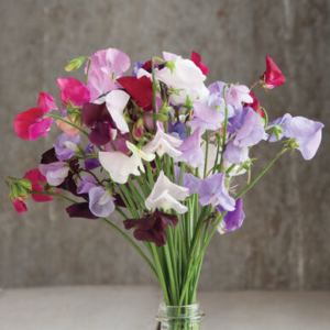 And this is another variety we planted was Royal Mix – these flowers have exceptional fragrance and are very attractive to hummingbirds. The mix provides large, two-inch blossoms in bright, clear colors of red, purple, mauve, pink, blue, and white. (Photo provided by Johnny's Selected Seeds)