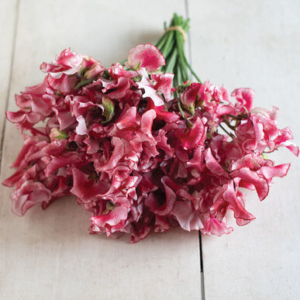These sweet peas are called 'Mars.' They have striped, ruffled petals on long stems. The plants produce three to four blooms per nine to 12 inch stem and are highly fragrant. (Photo provided by Johnny's Selected Seeds)