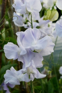 Owl's Acre Seed's 'Oban Bay' has a very distinctive pale ice blue color. Vigorous and reliable, this lovely sweet pea is hugely popular in Scotland. (Photo from Owl's Acre Seed)