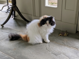 This is Empress Tang, one of my two dominant calico Persians. She is the one with mostly black markings on her face. Here she is just before bath time.