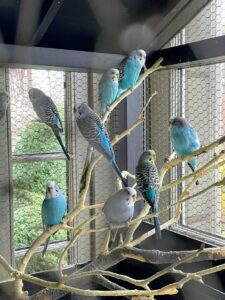 As some of you know, I share my Winter House with some birds. I have parakeets and canaries. They love singing and communicating with each other and enjoying their days from my airy, light-filled porch. Parakeets are indigenous to Australia, where they are known as budgerigars or budgies. They are very social, both with each other and with people. My parakeets are in one of two large wooden cages I designed after a 1900 French antique that was originally used to house doves or quails.