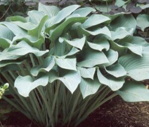 This is Hosta 'Krossa Regal' which features smooth, thick, widely-veined, frosty blue-green leaves with slightly wavy margins. Its growth habit is vase-shaped and grows to about three-feet in height and spreading to three to six feet wide. (Photo from PioneerGardens.com)