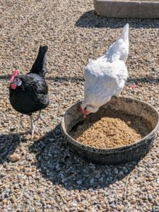 Here is a White Faced Black Spanish hen and a Splash Ameraucana hen eating outside the coop. Splash Ameraucanas are mostly white birds with random splashes of blue to black color in their feathers.