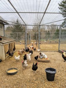 As many of you know, I keep about 200 chickens of many different breeds, as well as Guinea fowl, and a gaggle of geese.