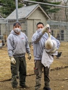 Luis and Jose captured the swan in less than five minutes. They are very experienced wildlife rescuers.