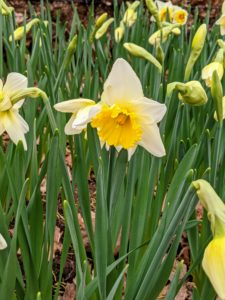The blossoms come in many combinations of yellow, orange, white, red, pink and even green. I can't wait to show the long border of stunning daffodil flowers.