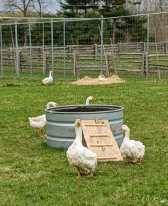 One of the first things we moved into their pen was their wading pool and ramp. While both ducks and geese love water, geese don't require a pond or large swimming pool - they swim much less than ducks and are content with a small dipping pool where they can dunk and clean their noses and beaks.