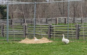 Here is a Sebastopol in a nest of hay. The goose is sitting on an egg, while her gander protects her.