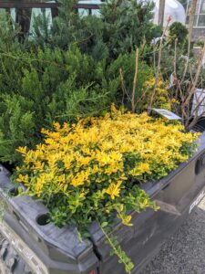 The day before, I bought several pretty evergreen shrubs and trees - golden holly, Japanese holly, a couple junipers, and a selection of Leyland cypress. I wanted to plant them along the carriage road leading down to my stable.