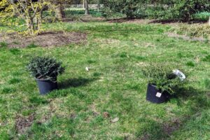 Ryan placed the trees where they would be planted. It is always important to consider the needs of the specimen when planting - make sure it gets the right light, the right soil, and enough room to accommodate the plant's growth habit.