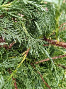The Leyland cypress, Cupressus × leylandii, often referred to simply as leylandii, is a fast-growing coniferous evergreen tree often used for hedges and screens because they grow so fast - plants have been known to grow 50-feet in about 15 years.