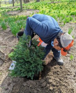 Phurba checks to be sure this tree is planted at the right depth. Planting a tree too deep can kill it. Plant it only at its flare – the bulge just above the root system where the roots begin to branch away from the trunk.