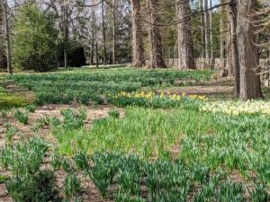 A little more than a week ago, this long border was filled with beautiful bold green daffodil foliage. One can see some of the flowers just beginning to bloom.